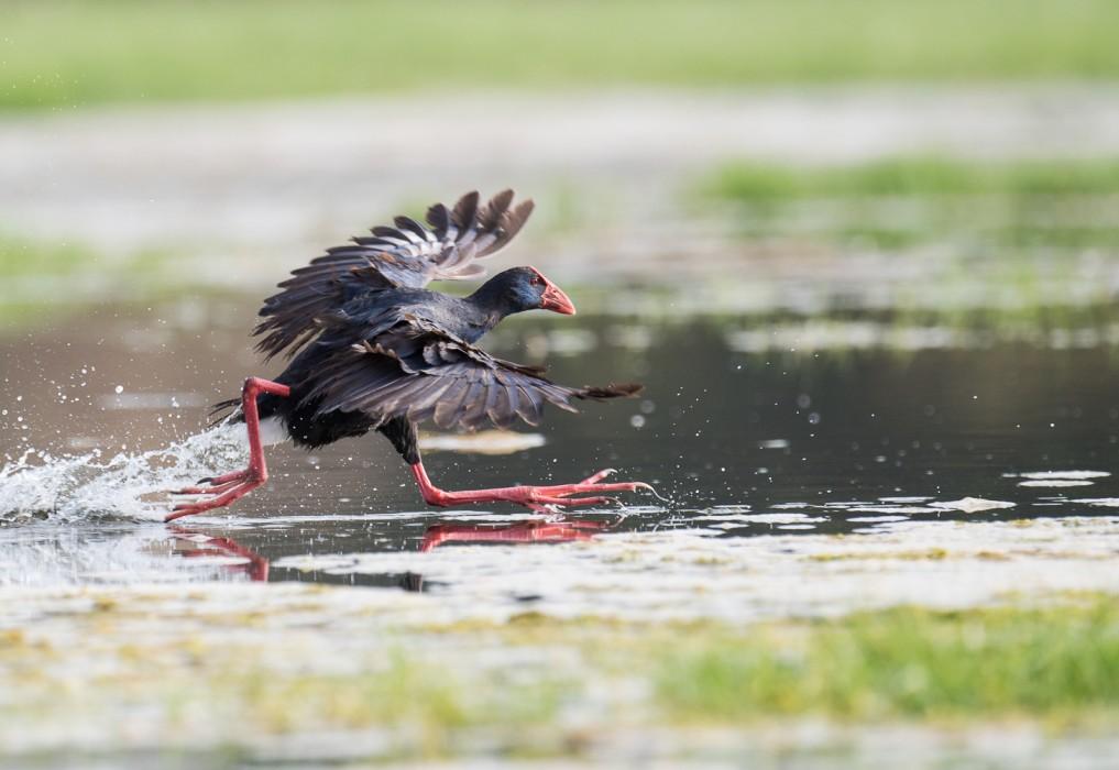 The sultana bird in the Dar Bouazza wetland in Morocco.