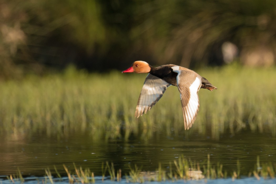 A red-crested pochard, a diving duck, in the Dar Bouazza wetland in Morocco.