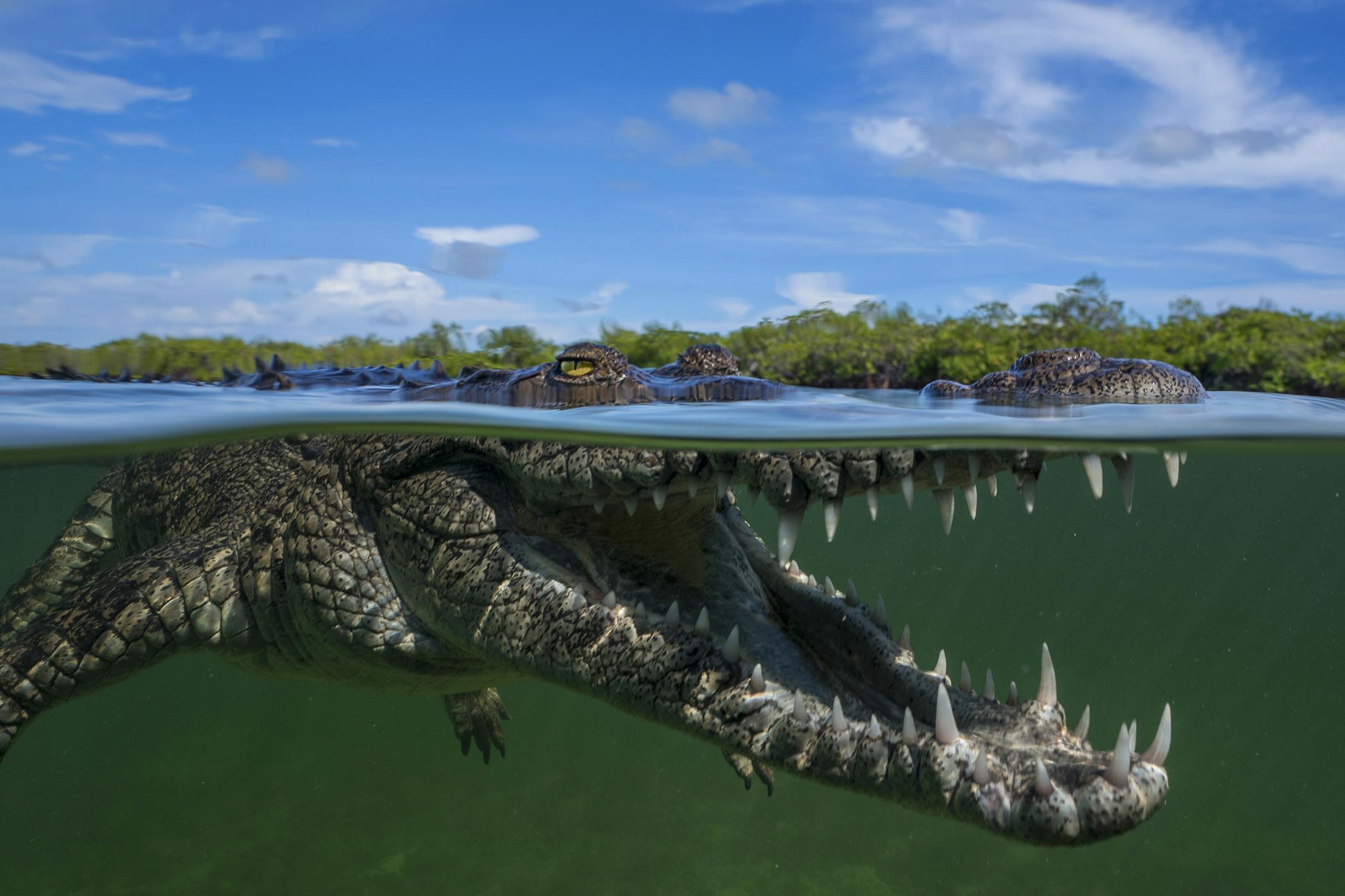 An American crocodile in Cuba.
