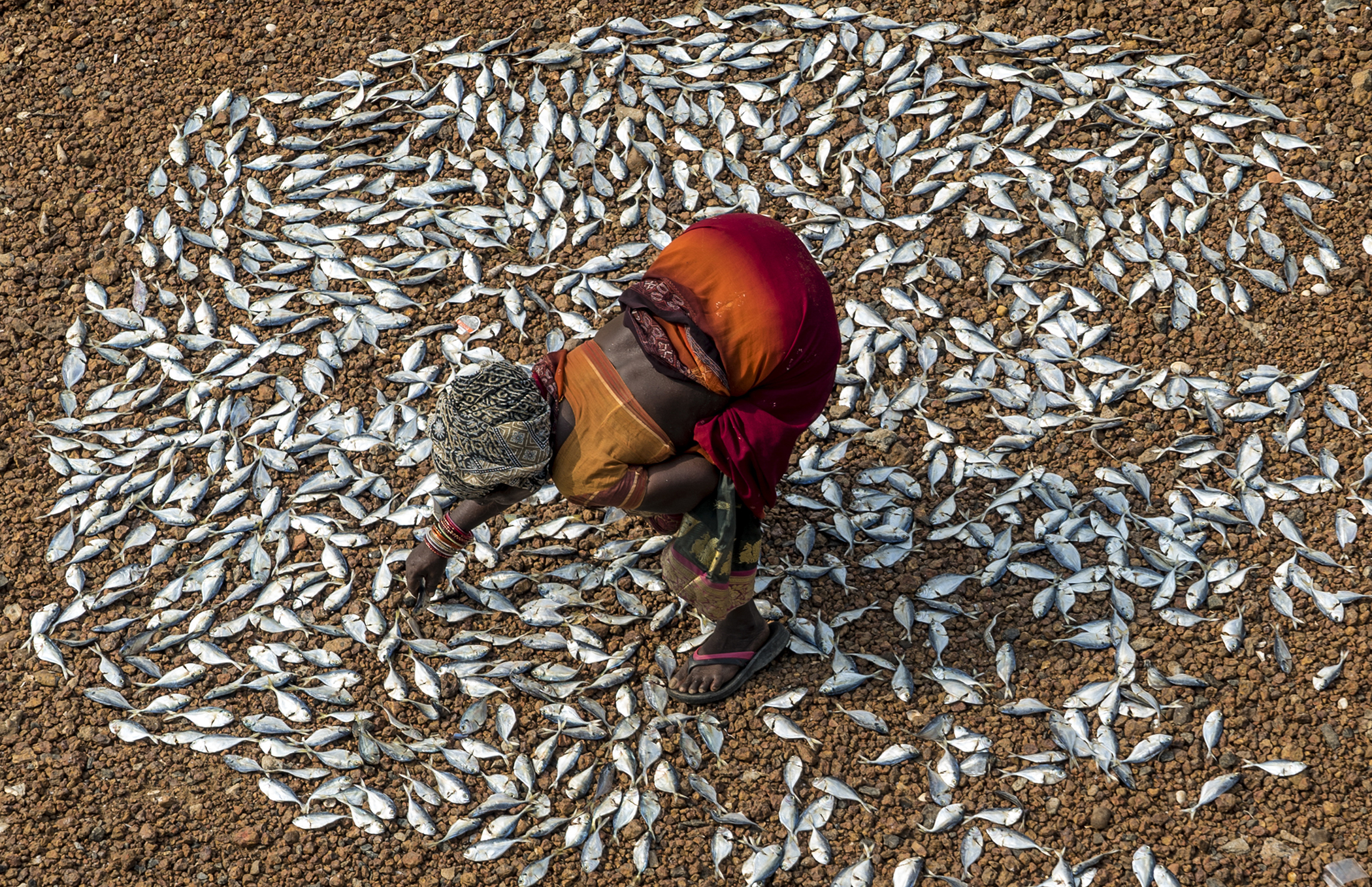 A Tamil woman sets a handful of small fish to dry in the midday Indian sun in Pulicat, India. The majority of this small catch will go to make chicken feed.