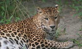 Article: South Africa bans leopard hunting for 2016