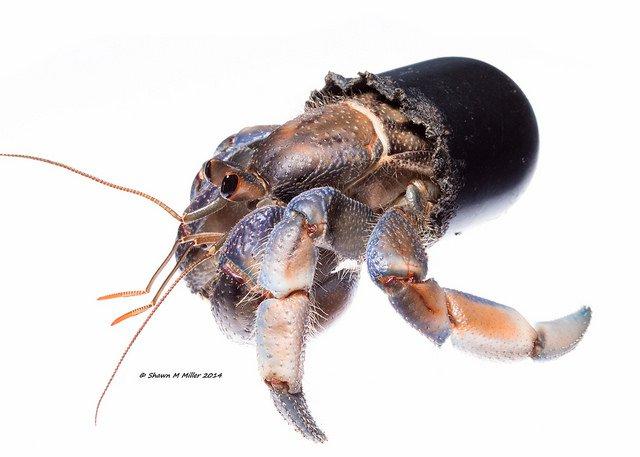 Hermit crab3.jpg