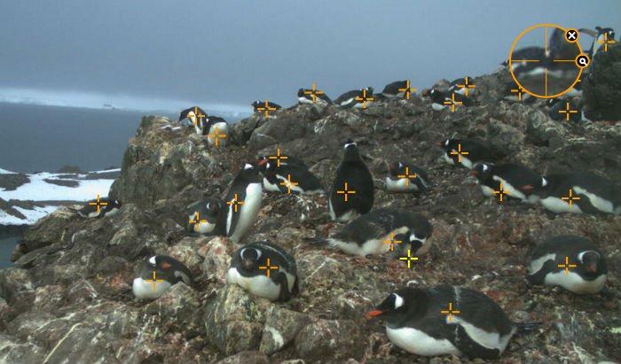 penguin pic marking penguinwatch.jpg