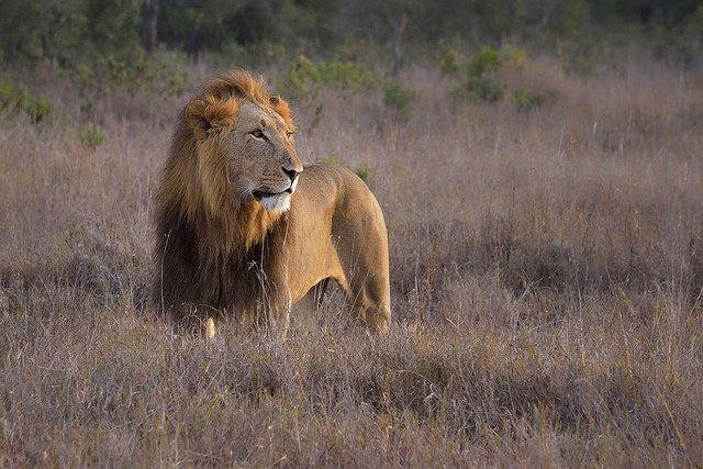 200 lions in Ethiopia rediscovered b3
