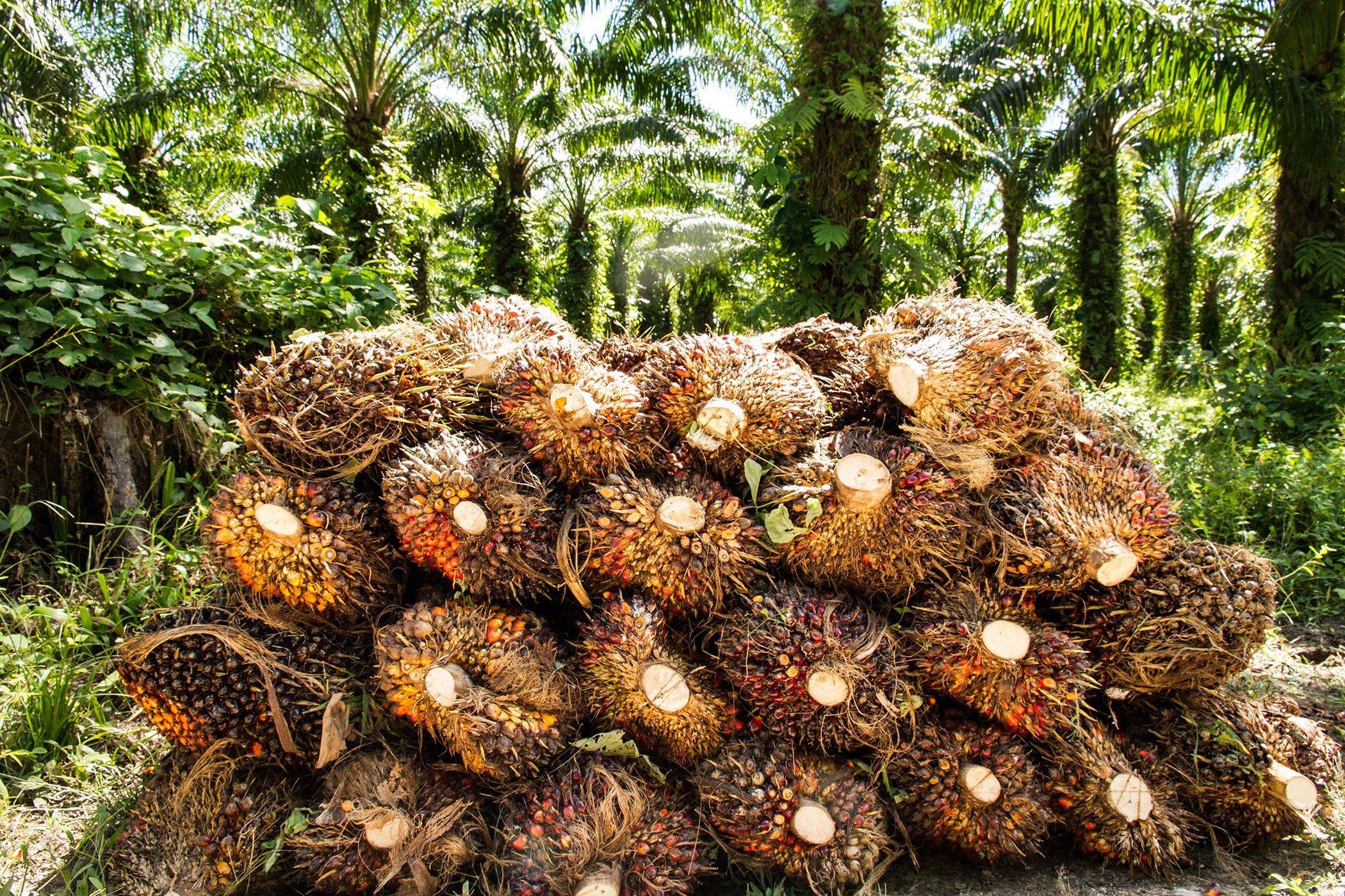 Palm-Oil-Explainer-Environmental-Impact-002.jpg