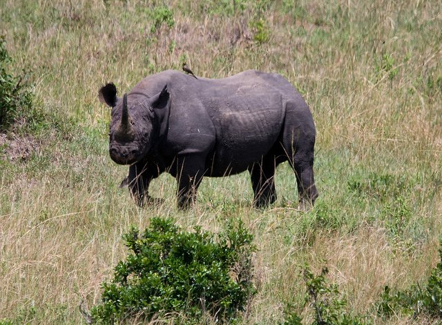 BlackRhino-CarolFoil-Flickr.jpg