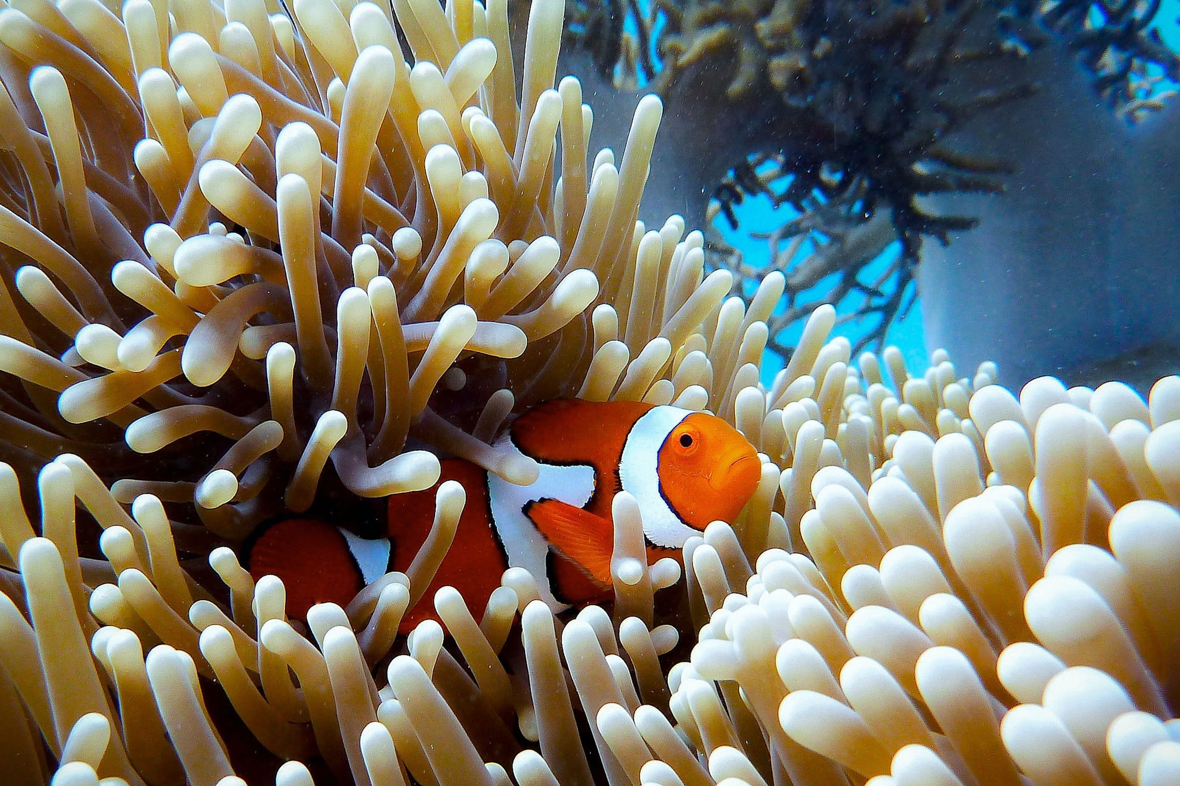 great barrier reef coral clown fish