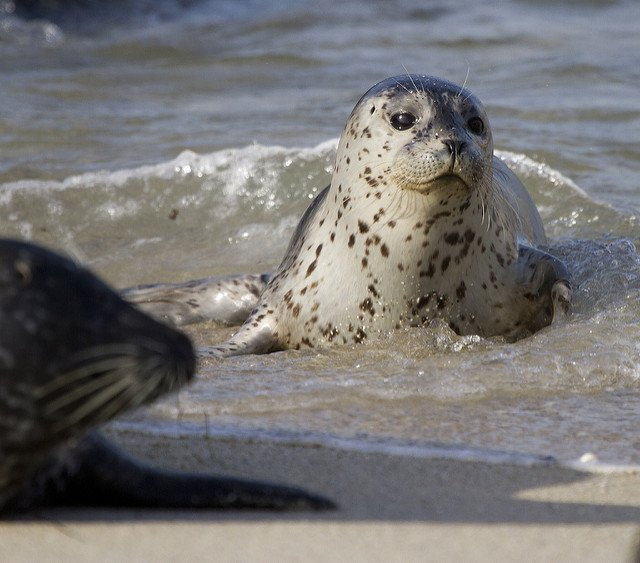 cut baby seal wold ocean day Flickr Nathan Robert