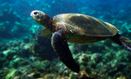 Artículo: Endangered Sea Turtle Population Might Be Bouncing Back, Scientists Say