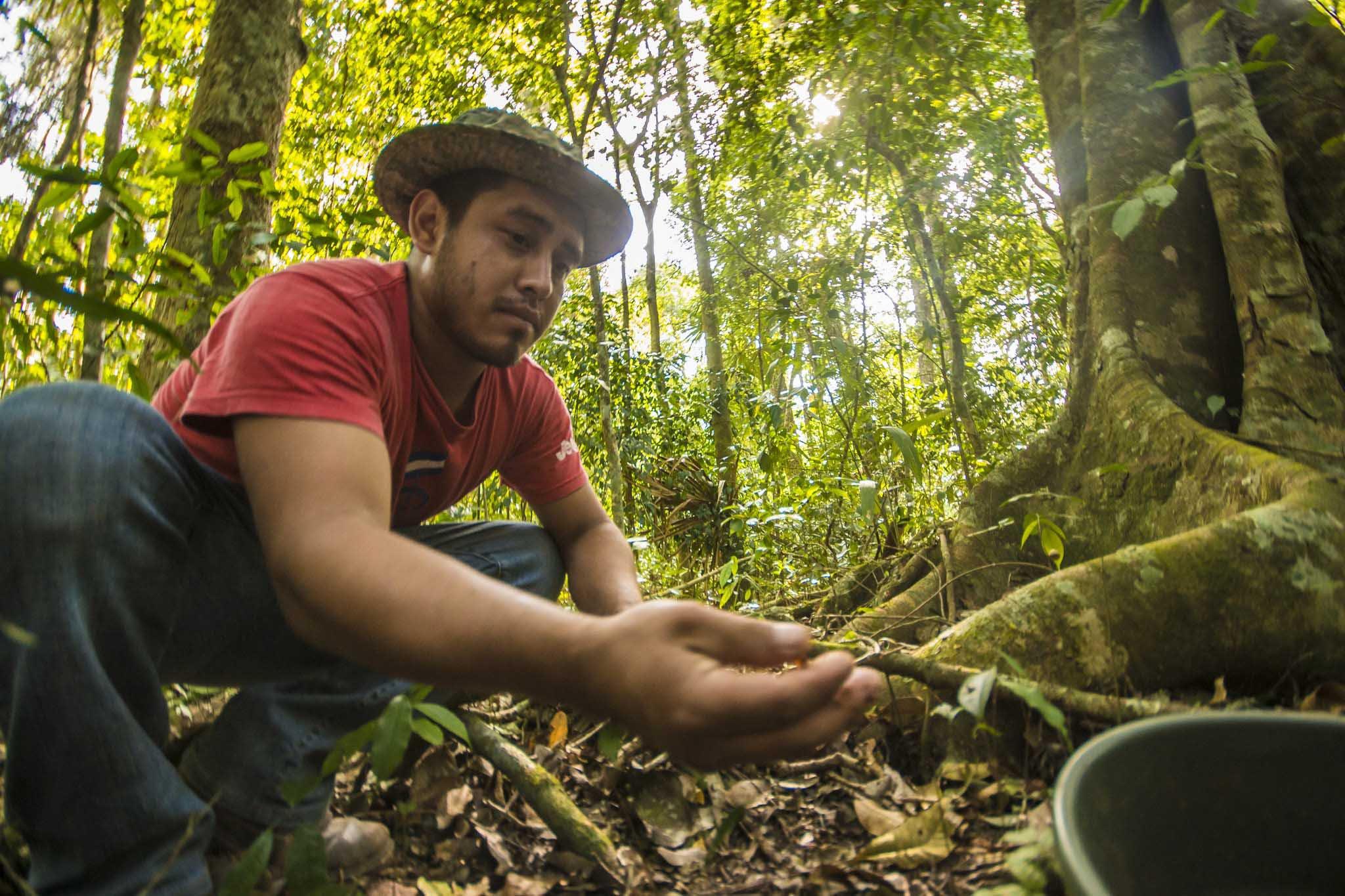 Harvesting ramon nuts credit Sergio Izquierdo.jpg