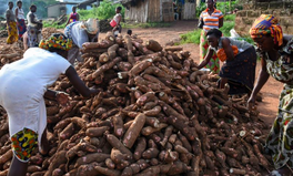 Article: West African States Unite to Fight the 'Ebola' of Root Crops