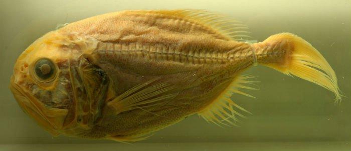 slimehead fish.jpg