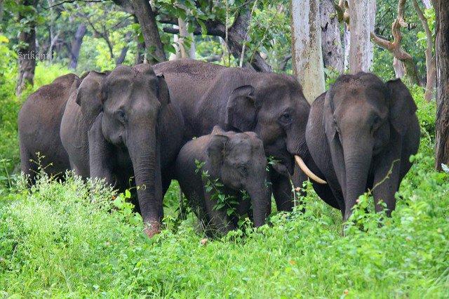 wild elephants.jpg