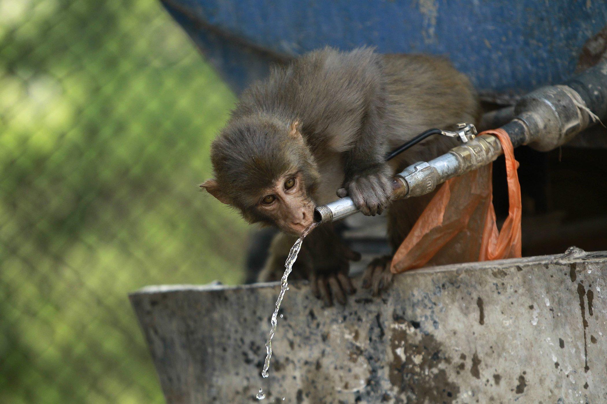 India-Heat-Monkey.jpg