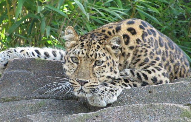 AmurLeopard-DanDavison-Flickr.jpg
