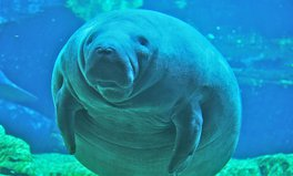 Video: Manatees are no longer endangered! Proof you can change the world