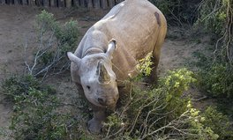Article: Black Rhinos Make Triumphant Return to Chad After Being Killed Off