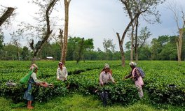Article: The True Cost of a Cup of Assam Tea? Poverty and Illness for Workers
