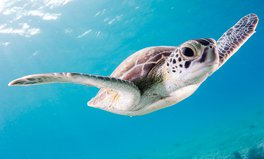 Article: A Turtle's Chance of Death Skyrockets With Each Piece of Plastic It Ingests