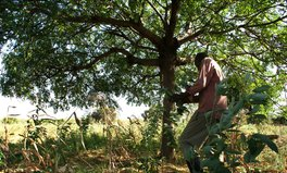 Article: This Tree Helped Kenyan Farmers Beat Drought and Poverty