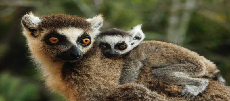 lemur baby and mama.jpg