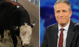 Artikel: The lessons from Jon Stewart saving the bull who went to college