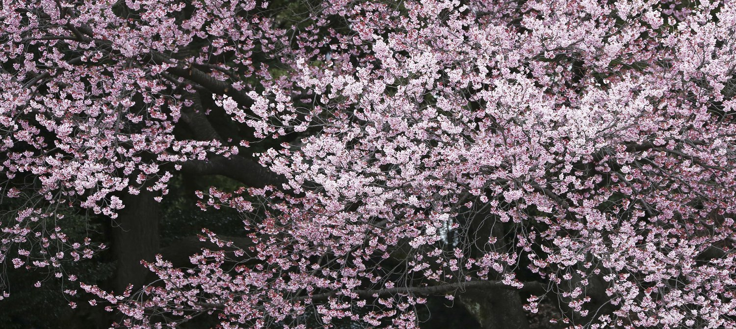 Confused By Climate Change Japans Famous Cherry Blossoms Bloom Six