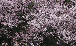 Article: Confused by Climate Change, Japan's Famous Cherry Blossoms Bloom Six Months Early