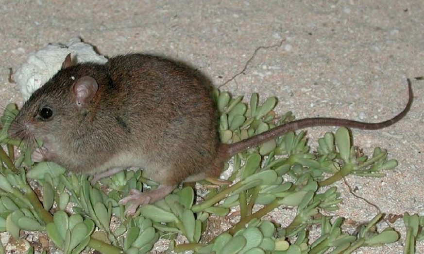 This Mammal Is the First to Become Extinct From Human-Induced Climate Change
