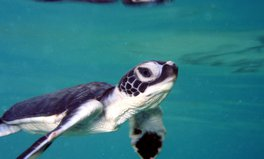 Artikel: Sea Turtle Populations Soared by 980% After Legal Protections: Report