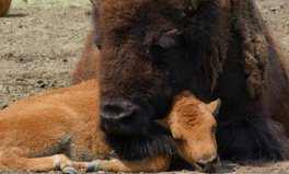 Artikel: The US has a new national mammal: the bison!