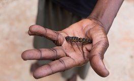 Article: This Furry, Protein-Rich Insect Might Be the Key to Solving Hunger in Burkina Faso