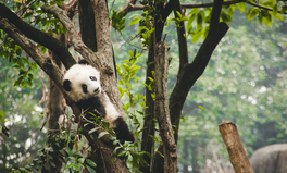 Artículo: $1.5 Billion Set Aside for Panda Sanctuary in China