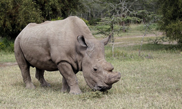 Article: Horny Male Seeks Love: This Northern White Rhino Needs Your Right Swipes on Tinder
