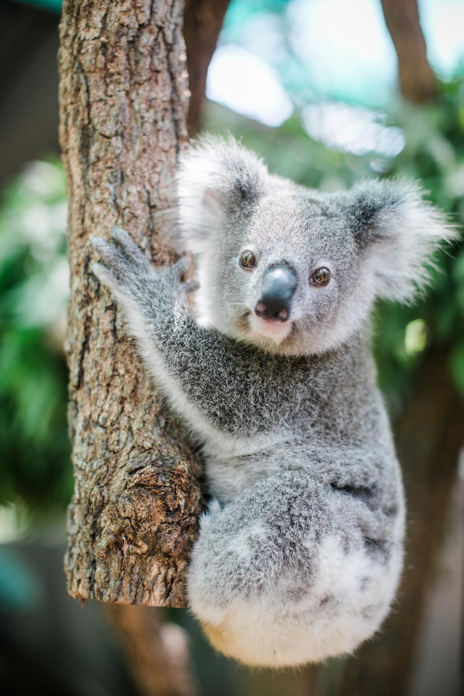 IFAW-Australien-Koalas-Aufforstung-Waldbrände_3.png
