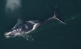 Article: What's Causing The Deaths of North Atlantic Right Whales in the Atlantic Ocean?