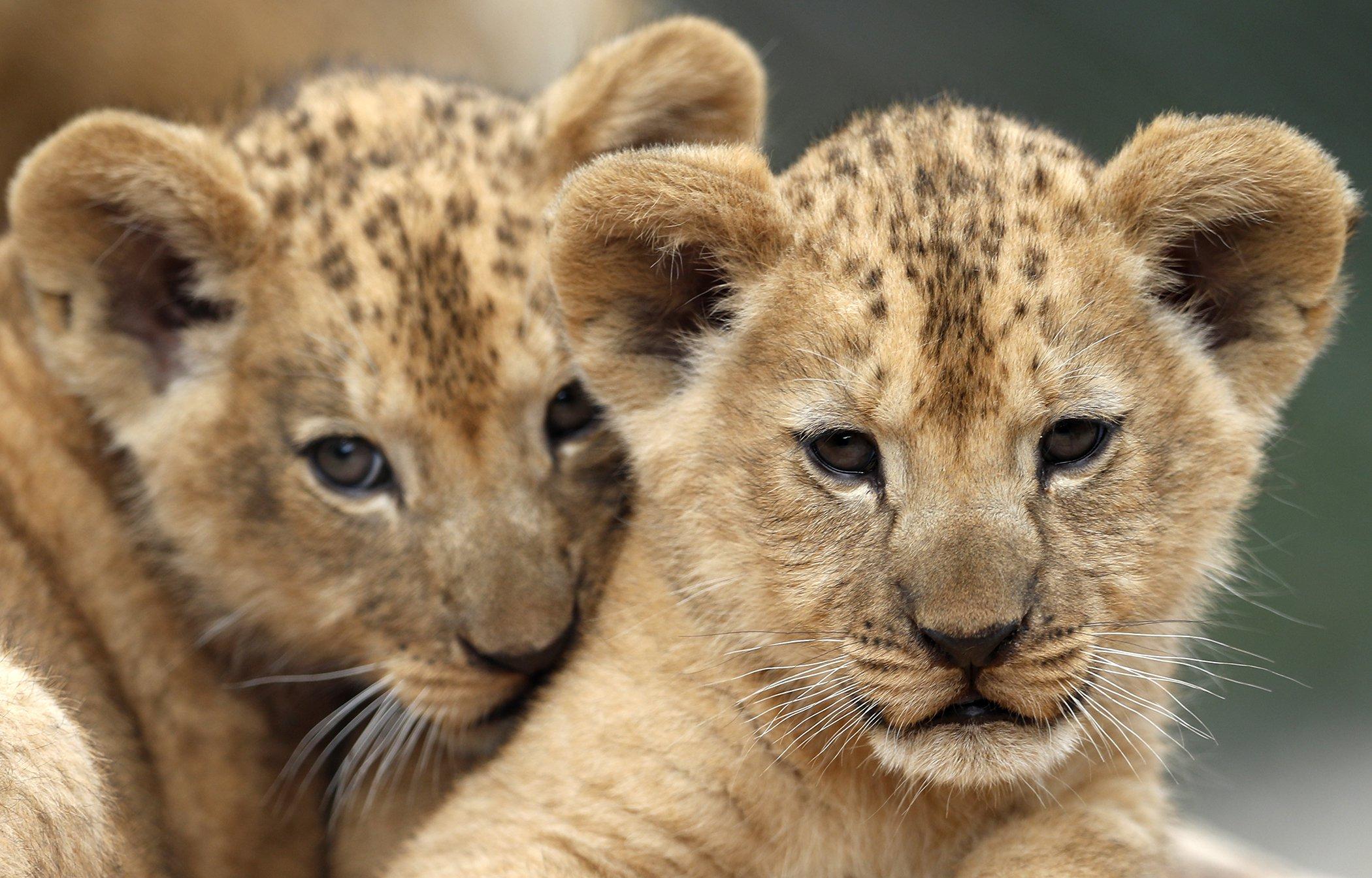 Rare-Lions-Barbary-Born.jpg