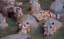 Article: 9 Adorable Hippo Gifs and Facts for World Hippo Day