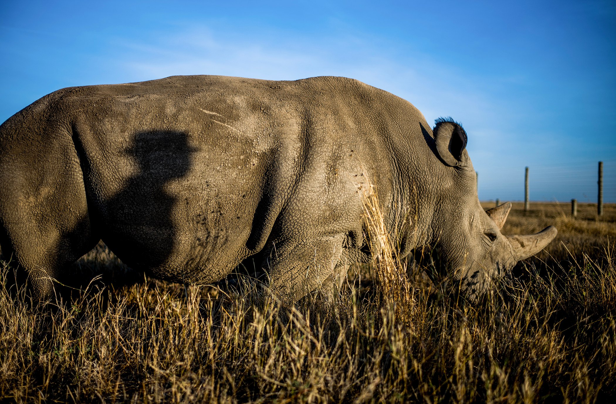 The Last Remaining Northern White Rhinos_9.jpg