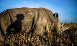 Article: African Rhinos Are Being Poached at an Alarming Rate Amid Coronavirus Lockdowns