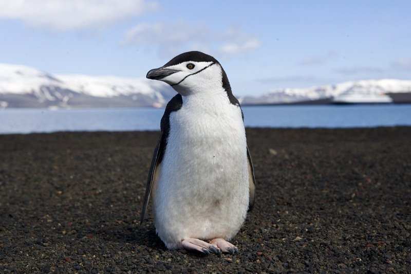 chinstrap penguin fun facts