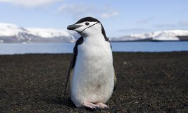 Artículo: Chinstrap Penguin Populations Have Declined By Up to 77% Due to Climate Change