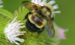 Article: 'Small But Mighty' Bumblebee Added to Endangered Species List