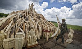 Article: Up in smoke – the largest stockpile of ivory will be burned in Kenya tomorrow