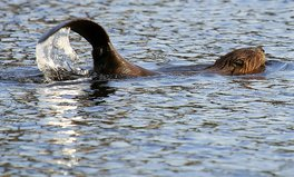 Artikel: Chile and Argentina Want to Kill 100,000 Beavers