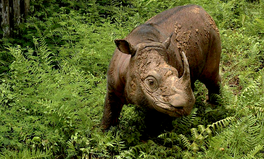 Article: Malaysia's Last Male Sumatran Rhino Has Just Died