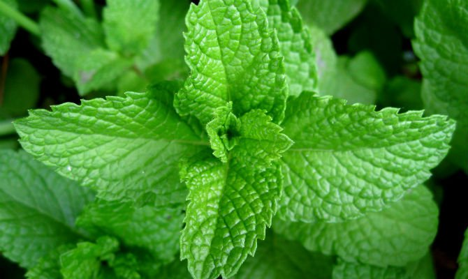 Peppermint traditional remedies .jpg