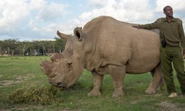 Article: The Last Male Northern White Rhino Is Sick and Dying
