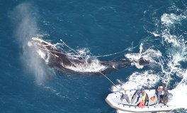 Article: North Atlantic Right Whales Could Be Extinct In 20 Years, Scientists Warn