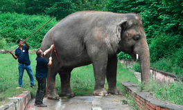 Artículo: 'World's Loneliest Elephant' Is Finally Free After 35 Years in Confinement